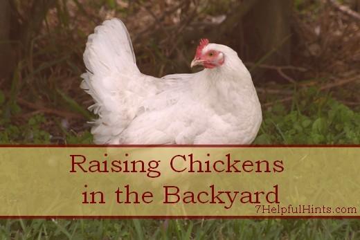 raising chickens in the backyard